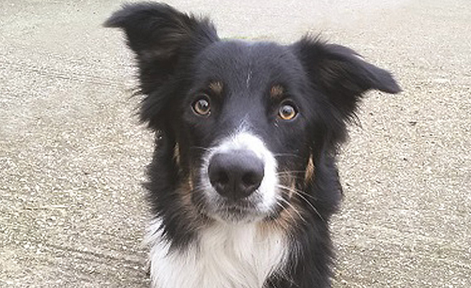 Max our Border Collie